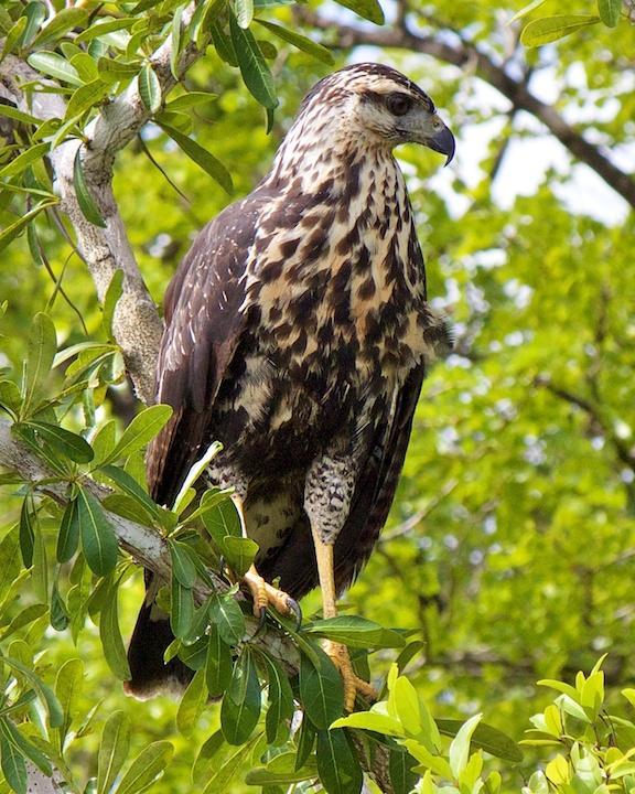 Great Black Hawk Photo by Denis Rivard