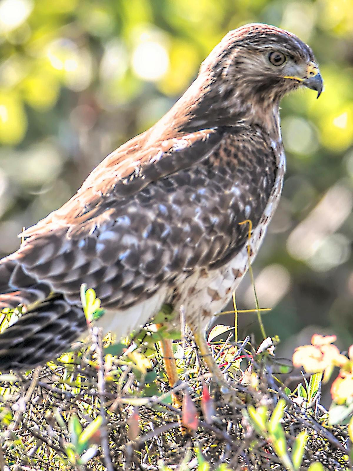 Red-shouldered Hawk Photo by Dan Tallman
