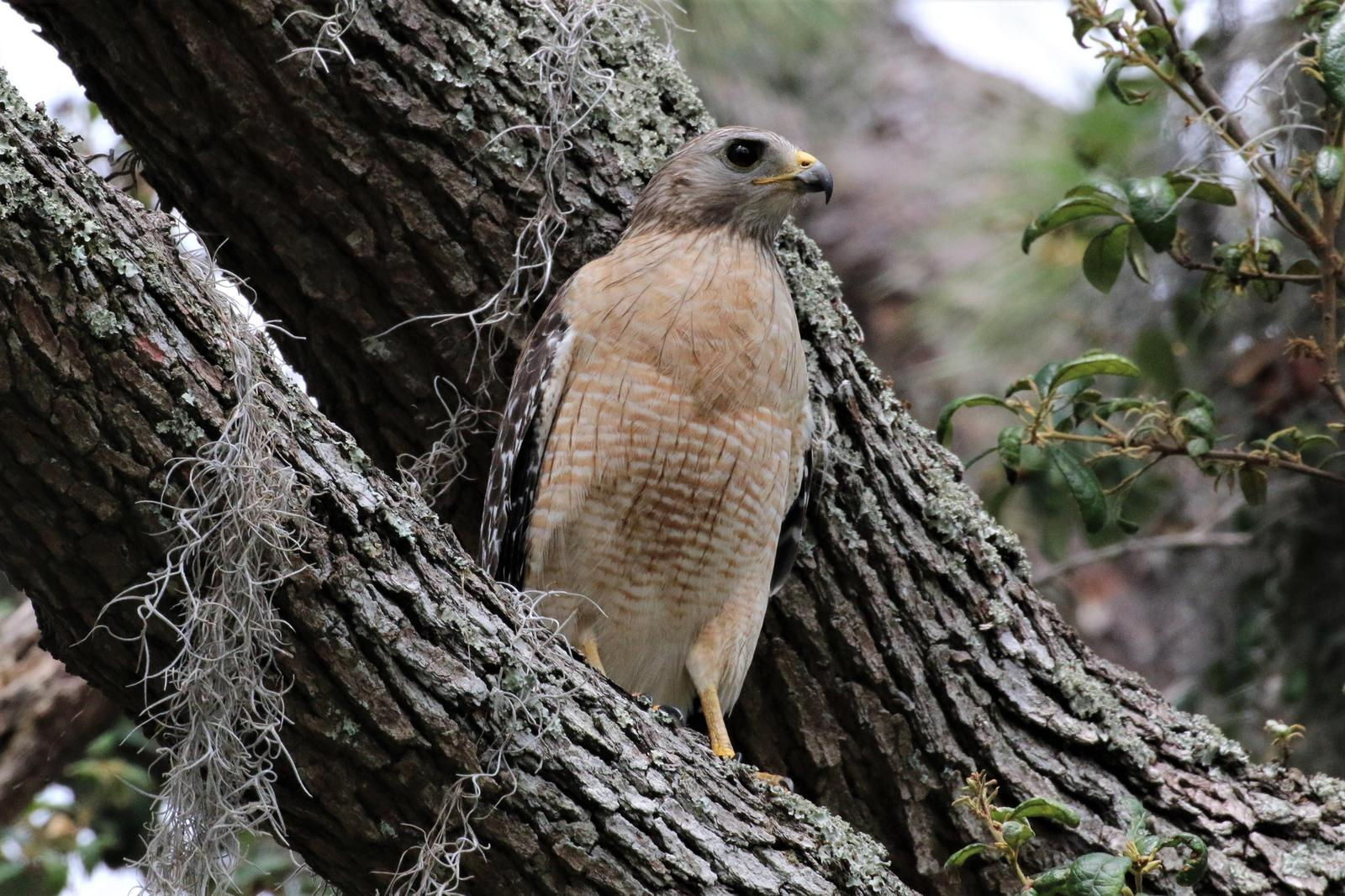 Red-shouldered Hawk (extimus) Photo by Richard Jeffers