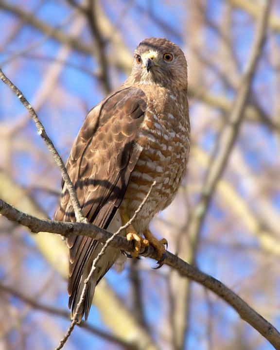 Broad-winged Hawk Photo by Denis Rivard