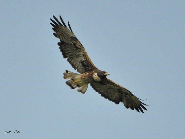 White-tailed Hawk Photo by Karlo Antonio Soto Huerta