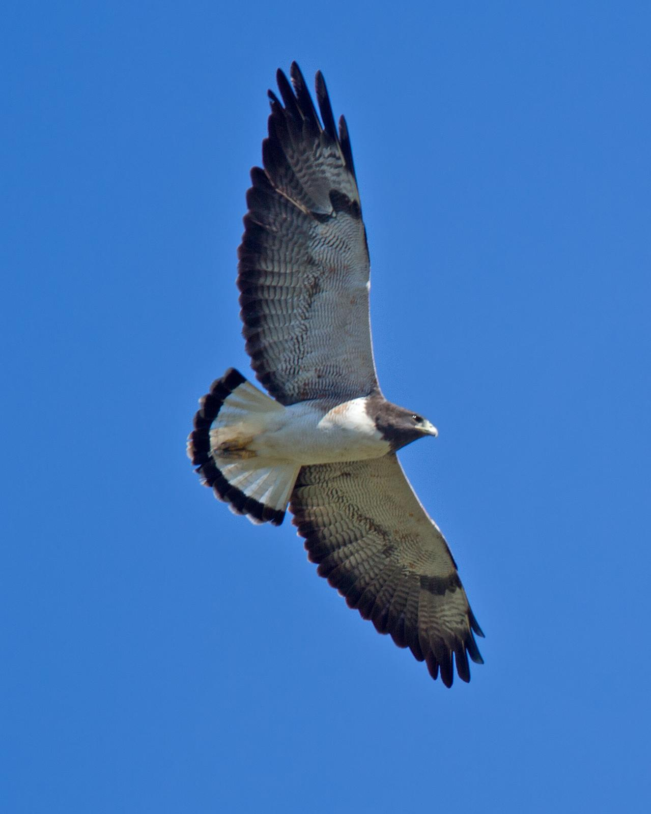 White-tailed Hawk Photo by JC Knoll