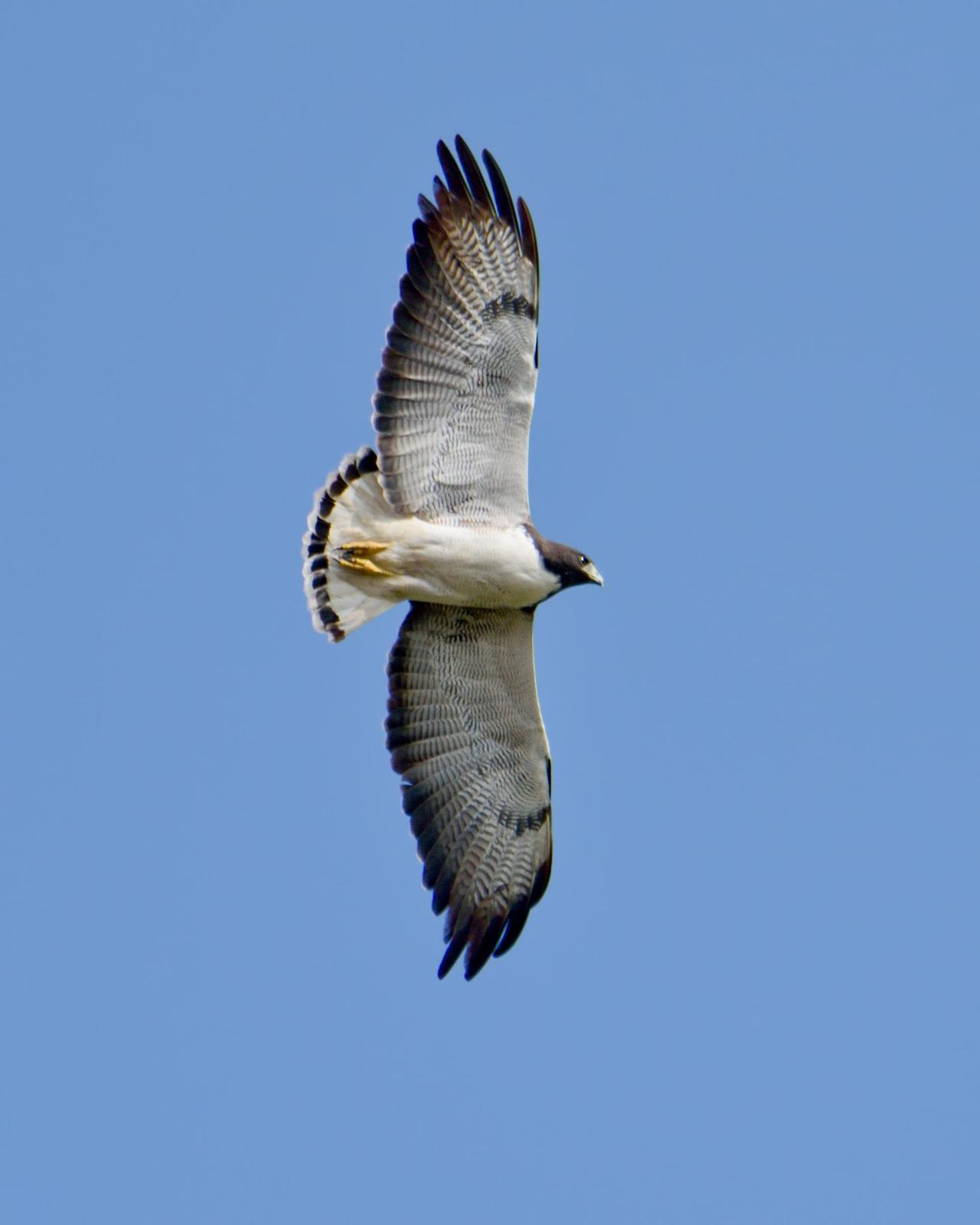 White-tailed Hawk Photo by Dan Brown