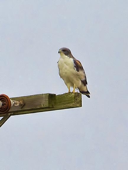 White-tailed Hawk Photo by Dan Tallman