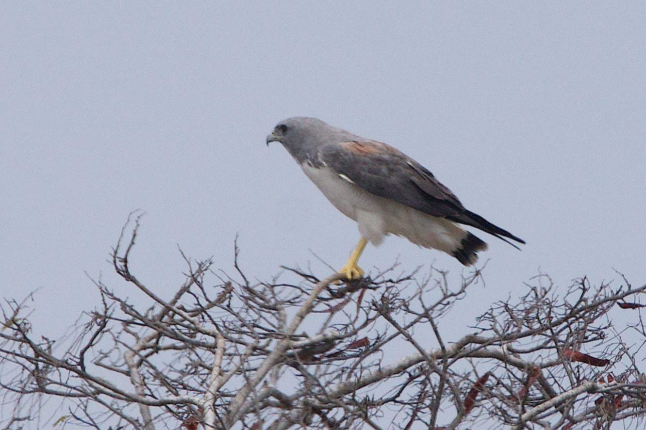 White-tailed Hawk Photo by Gerald Hoekstra