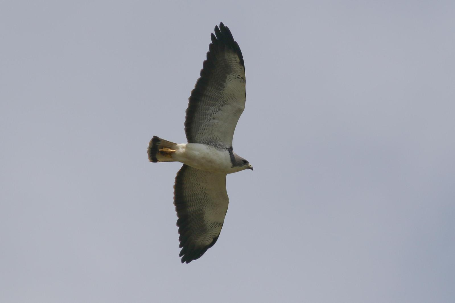 White-tailed Hawk Photo by Tom Ford-Hutchinson