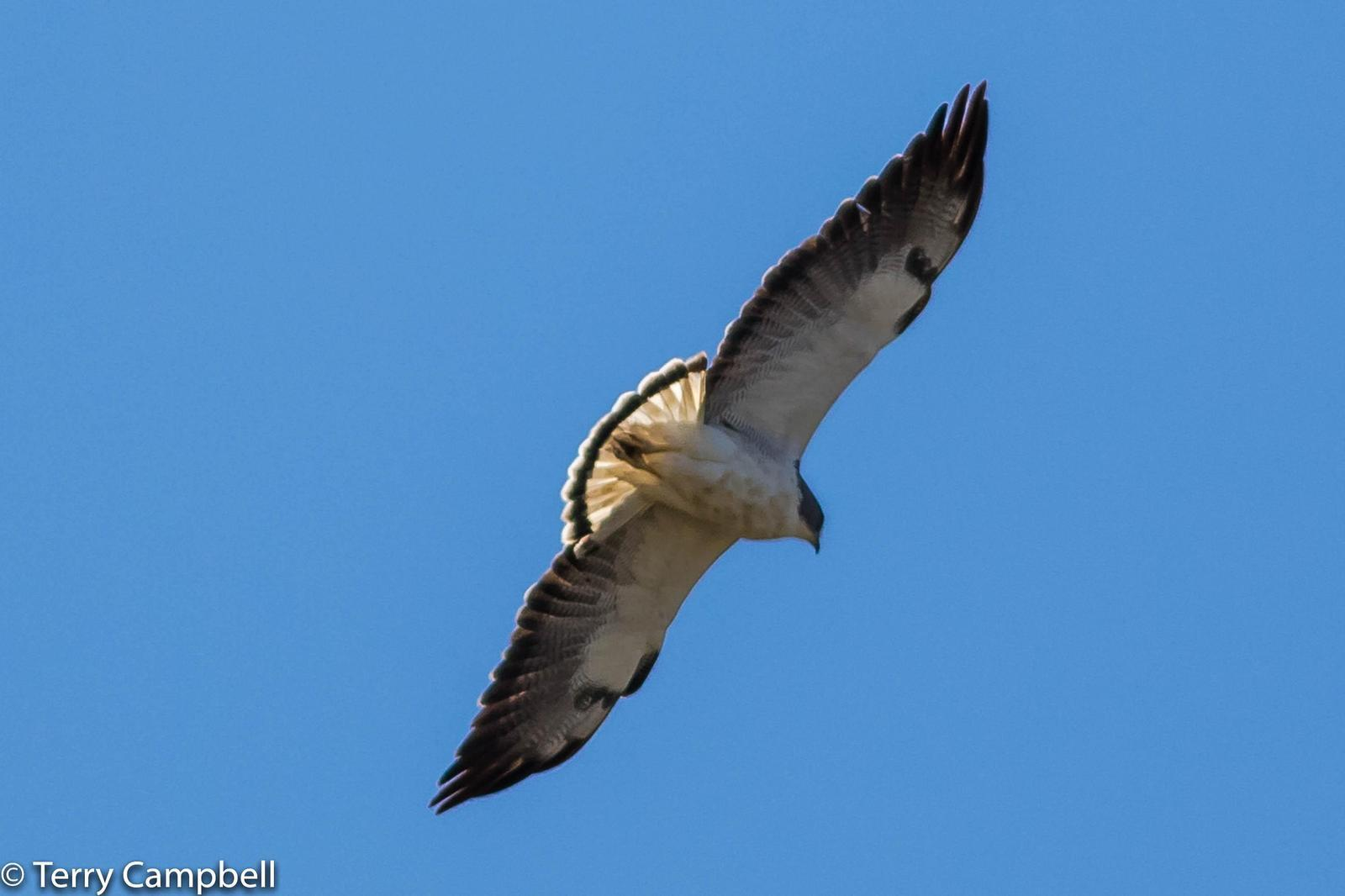 White-tailed Hawk Photo by Terry Campbell