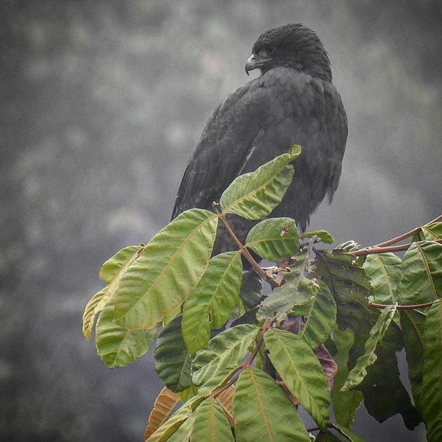Variable Hawk Photo by Julio Delgado