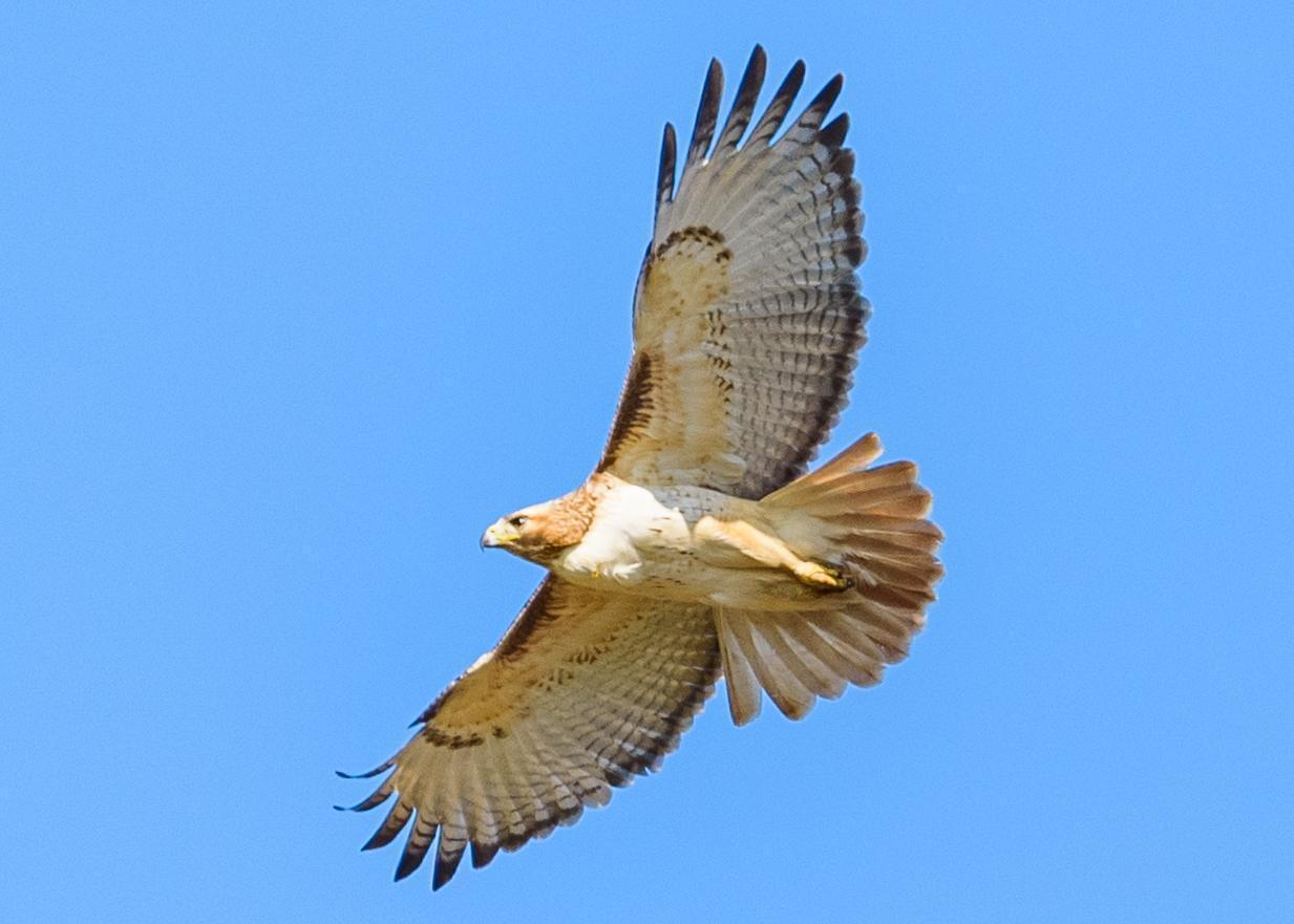 Red-tailed Hawk Photo by Keshava Mysore