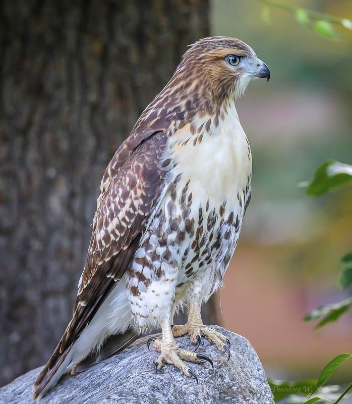 Red-tailed Hawk Photo by Theodore W.  Hatem