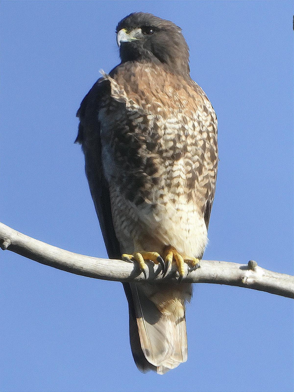 Red-tailed Hawk (calurus/alascensis) Photo by Dan Tallman