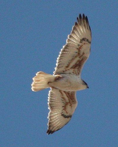Ferruginous Hawk Photo by Andrew Core