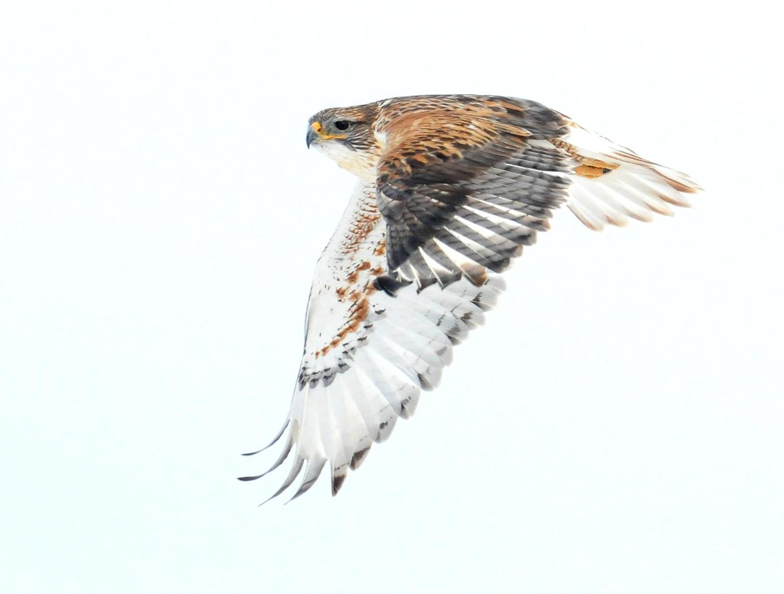 Ferruginous Hawk Photo by Steven Mlodinow