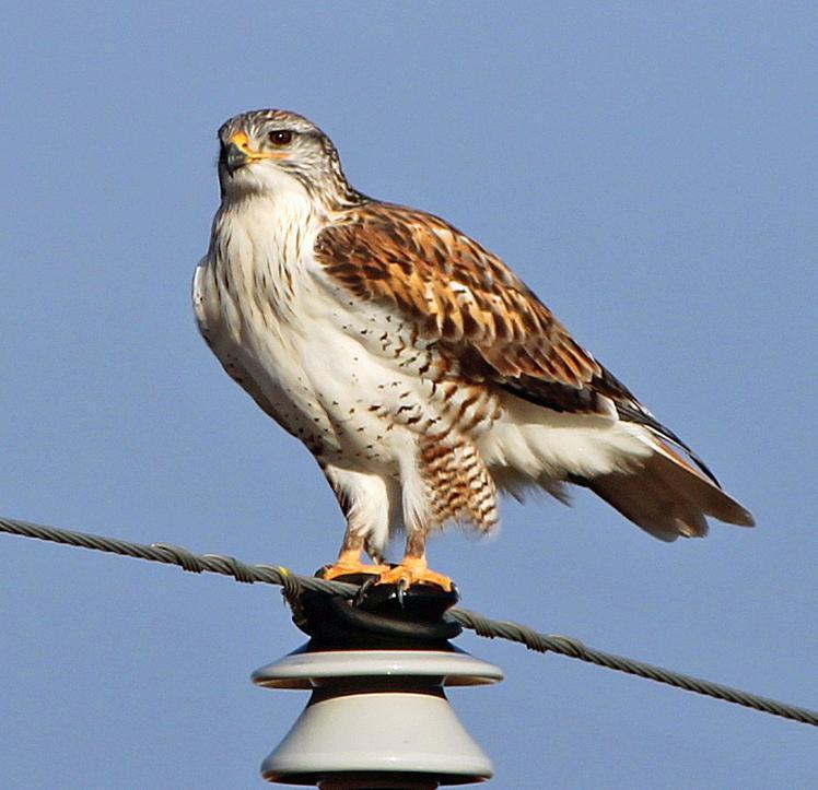 Ferruginous Hawk Photo by Tom Gannon