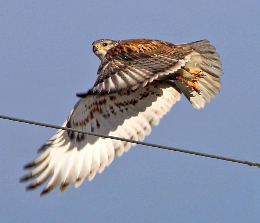 Ferruginous Hawk Photo by Tom Gannon