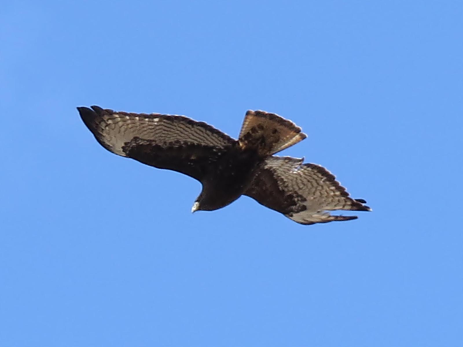 Ferruginous Hawk Photo by Bob Neugebauer