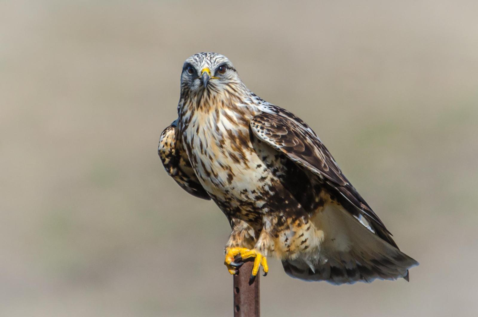 Rough-legged Hawk Photo by Scott Yerges