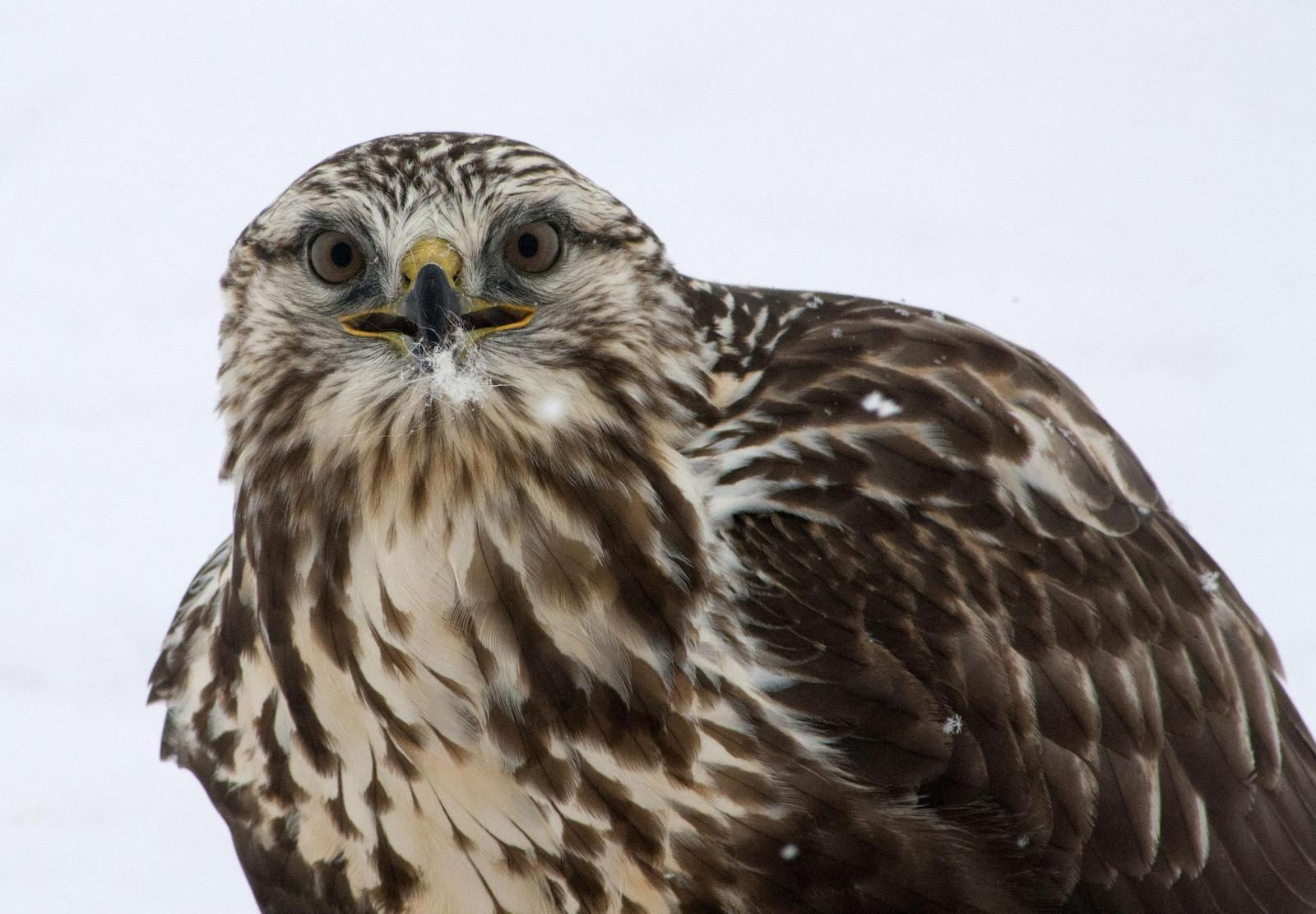 Rough-legged Hawk Photo by Melinda Quayle