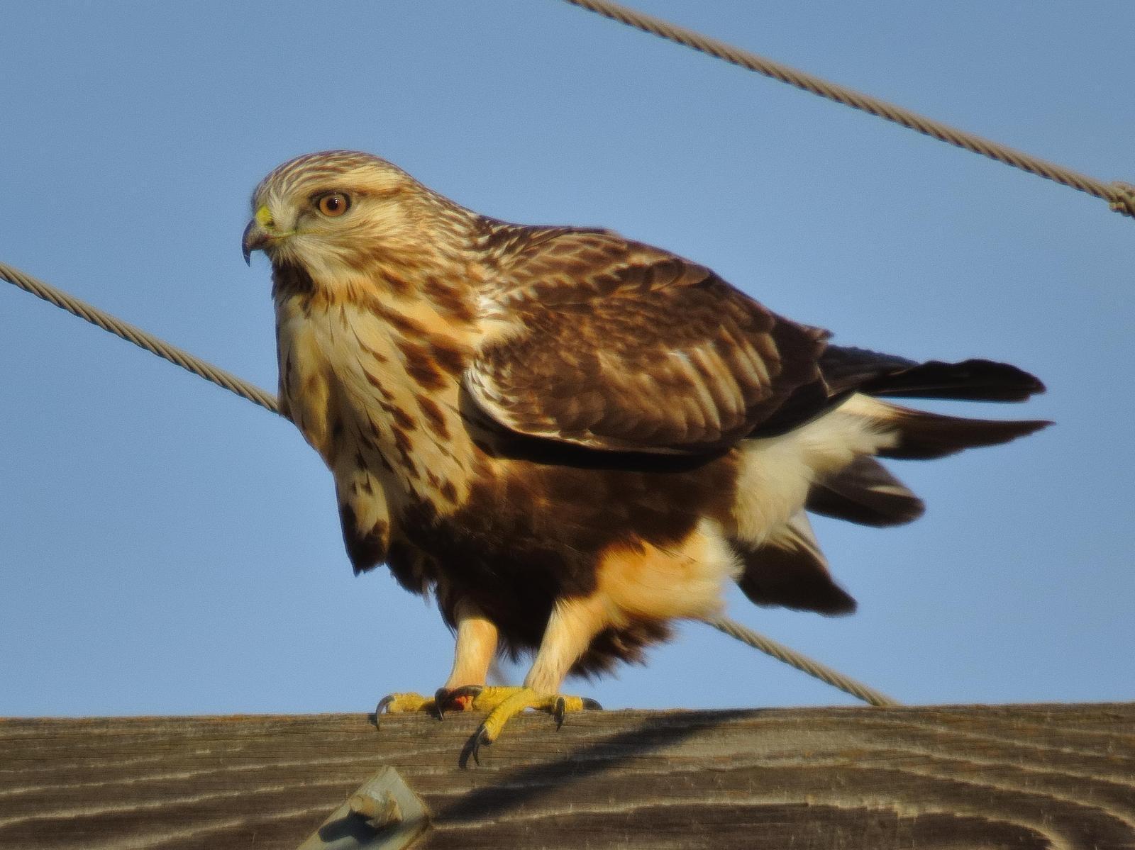 Rough-legged Hawk Photo by Kent Jensen