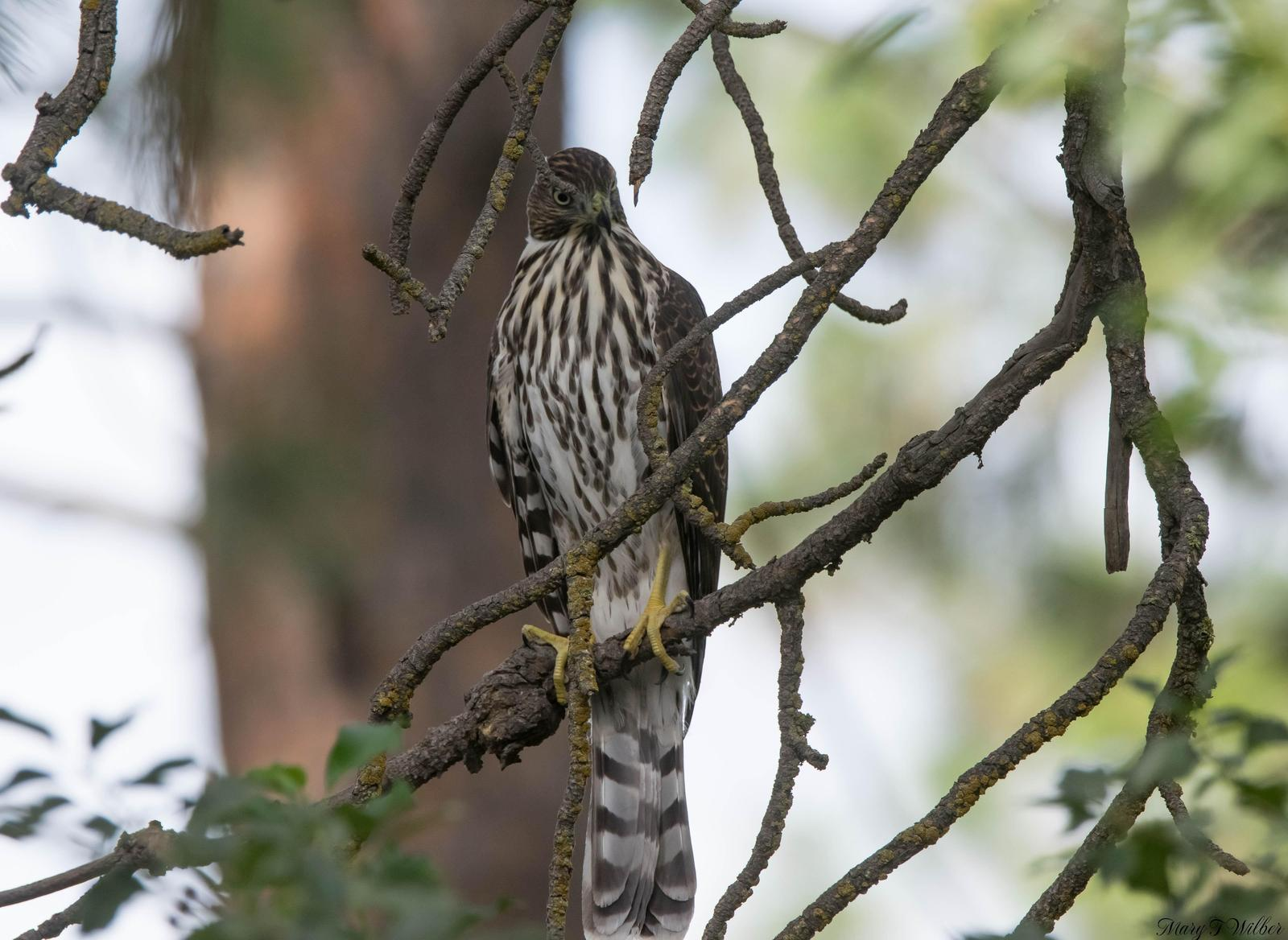 hawk sp. Photo by Mary Wilber
