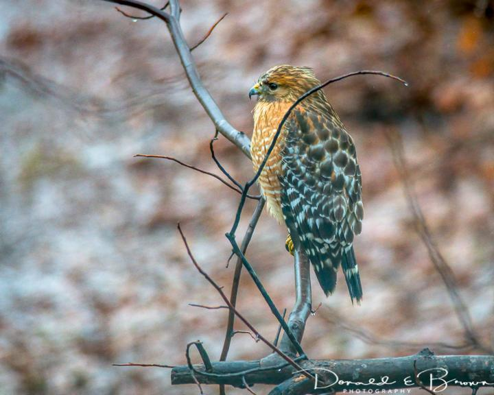 hawk sp. Photo by Donald Brown