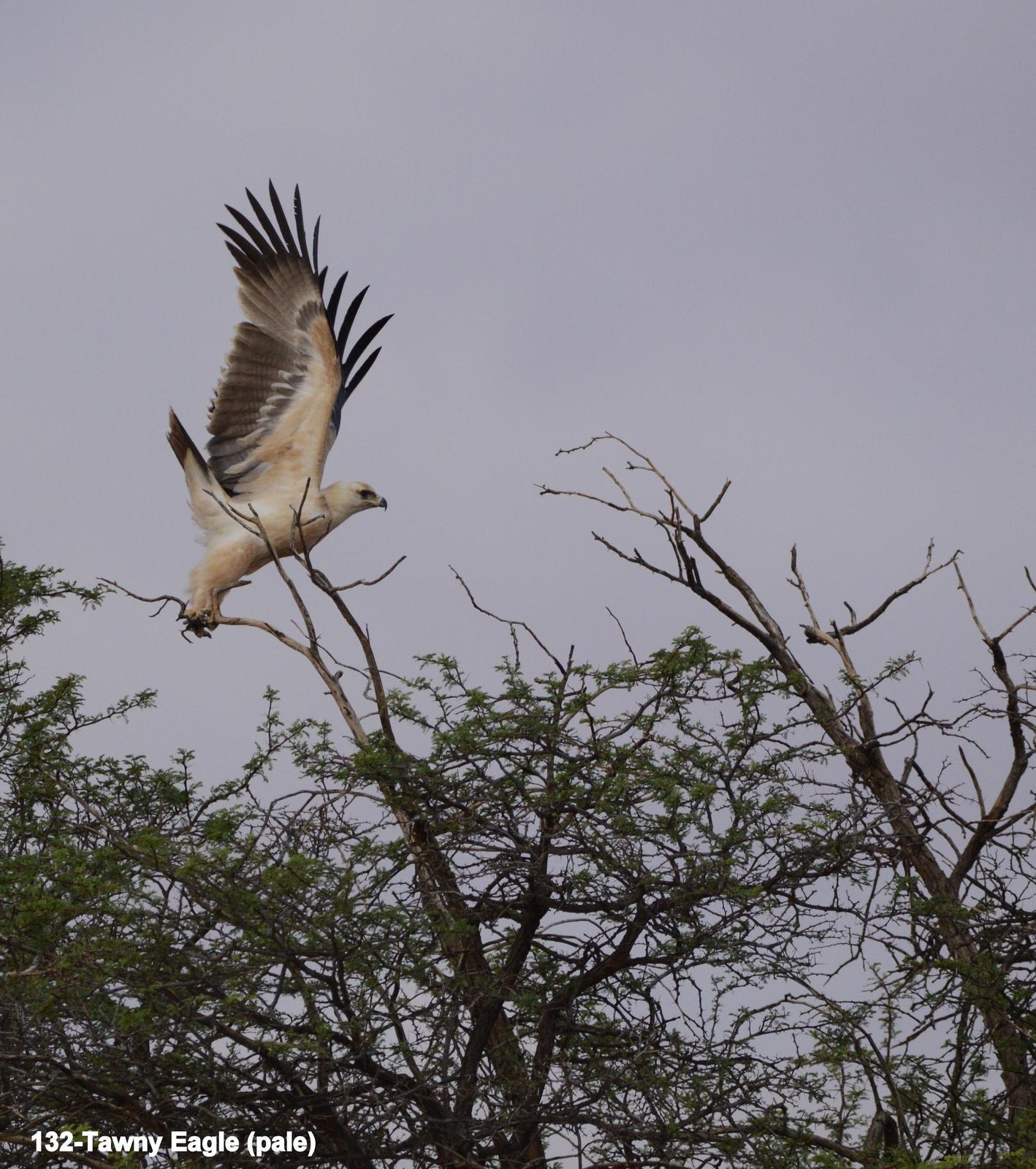 Tawny Eagle Photo by Richard  Lowe