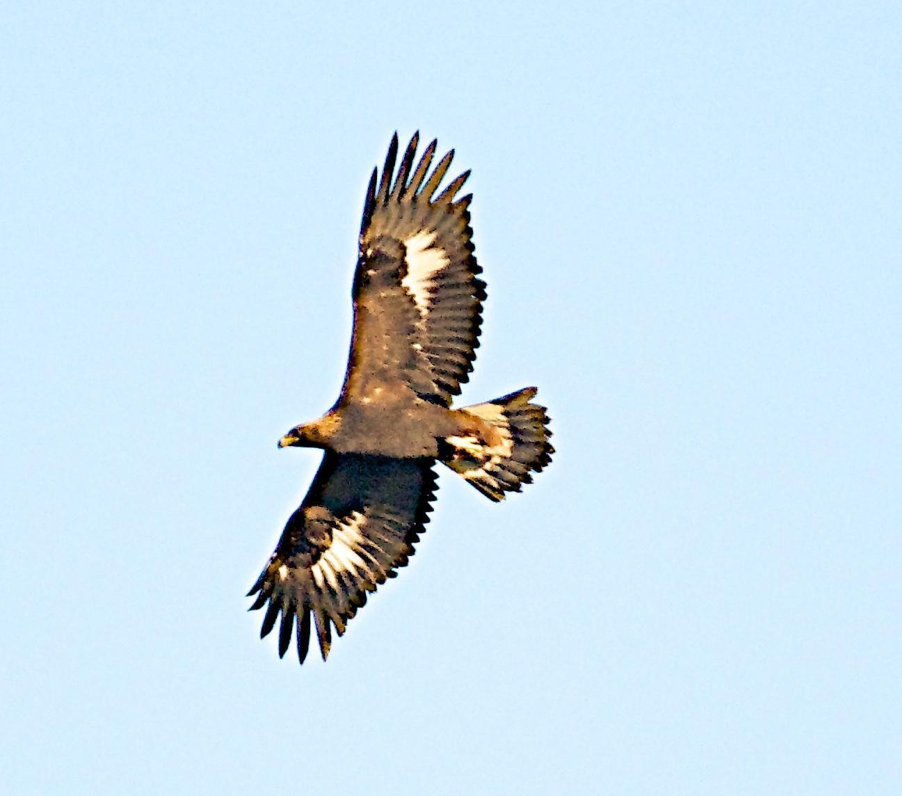 Golden Eagle Photo by Brian Avent