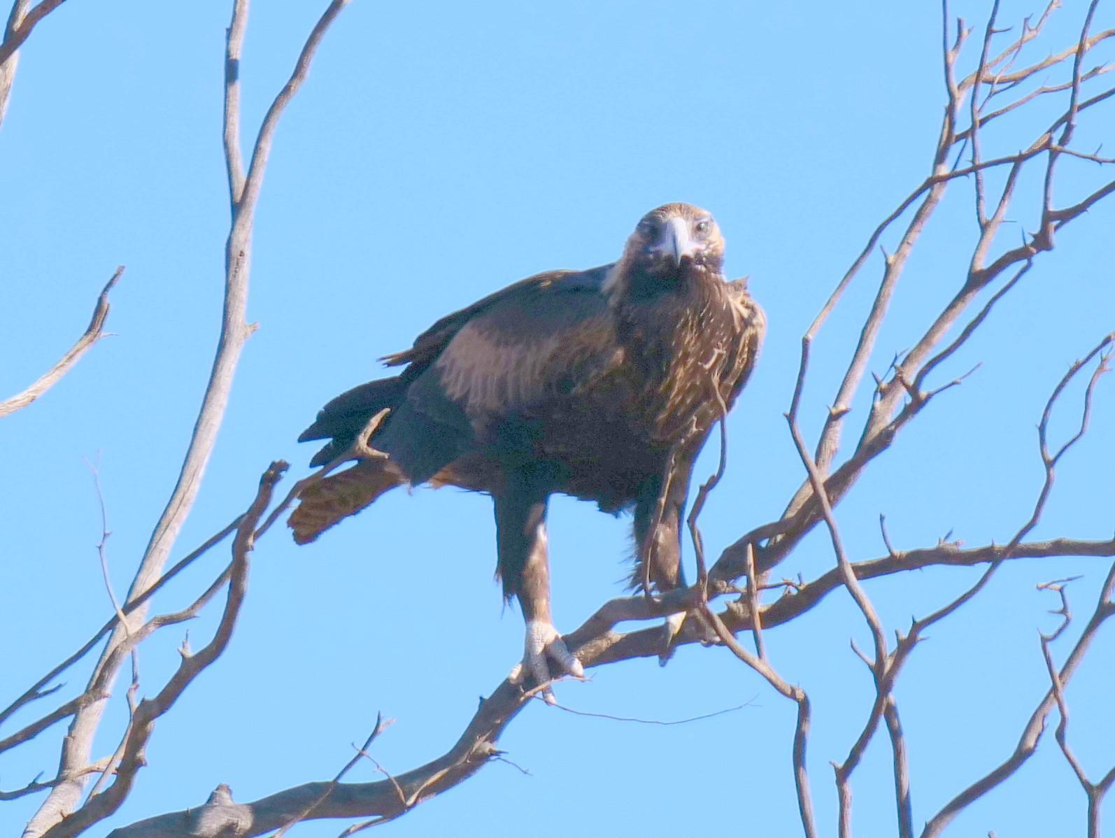 Wedge-tailed Eagle Photo by Peter Lowe