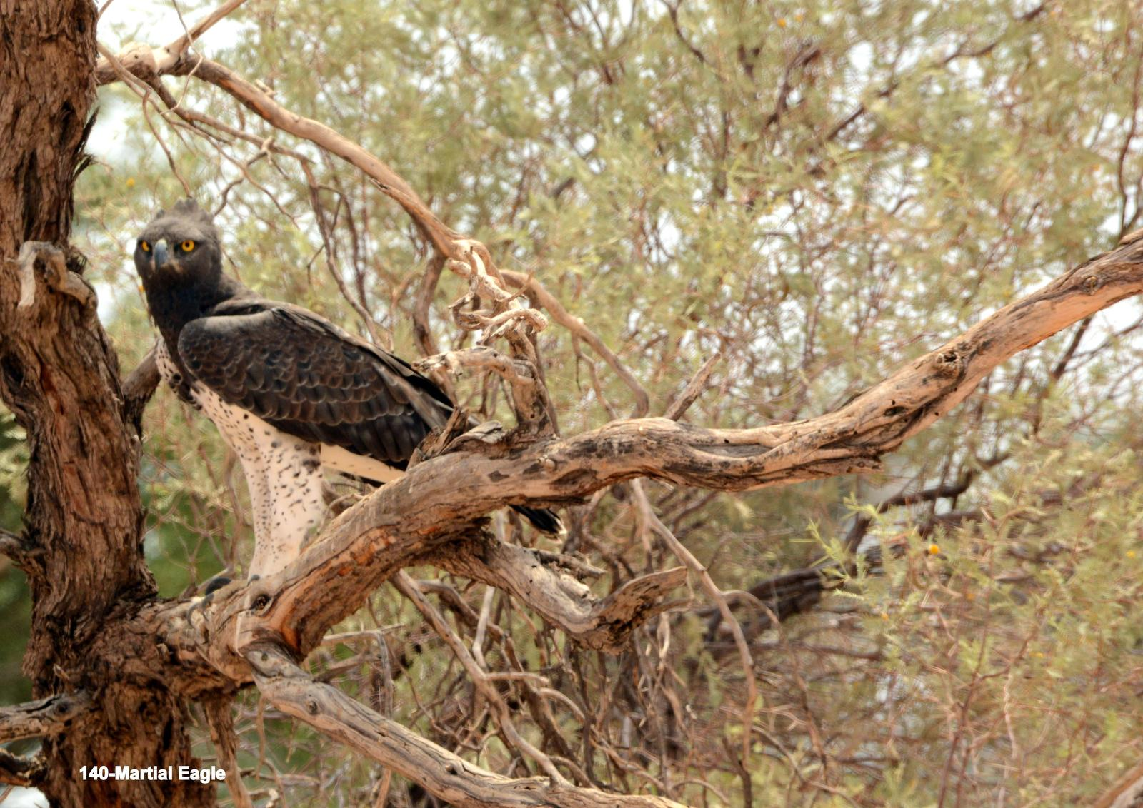 Martial Eagle Photo by Richard  Lowe
