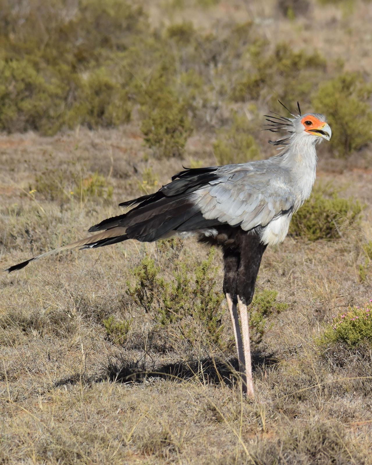 Secretarybird Photo by Steve Percival