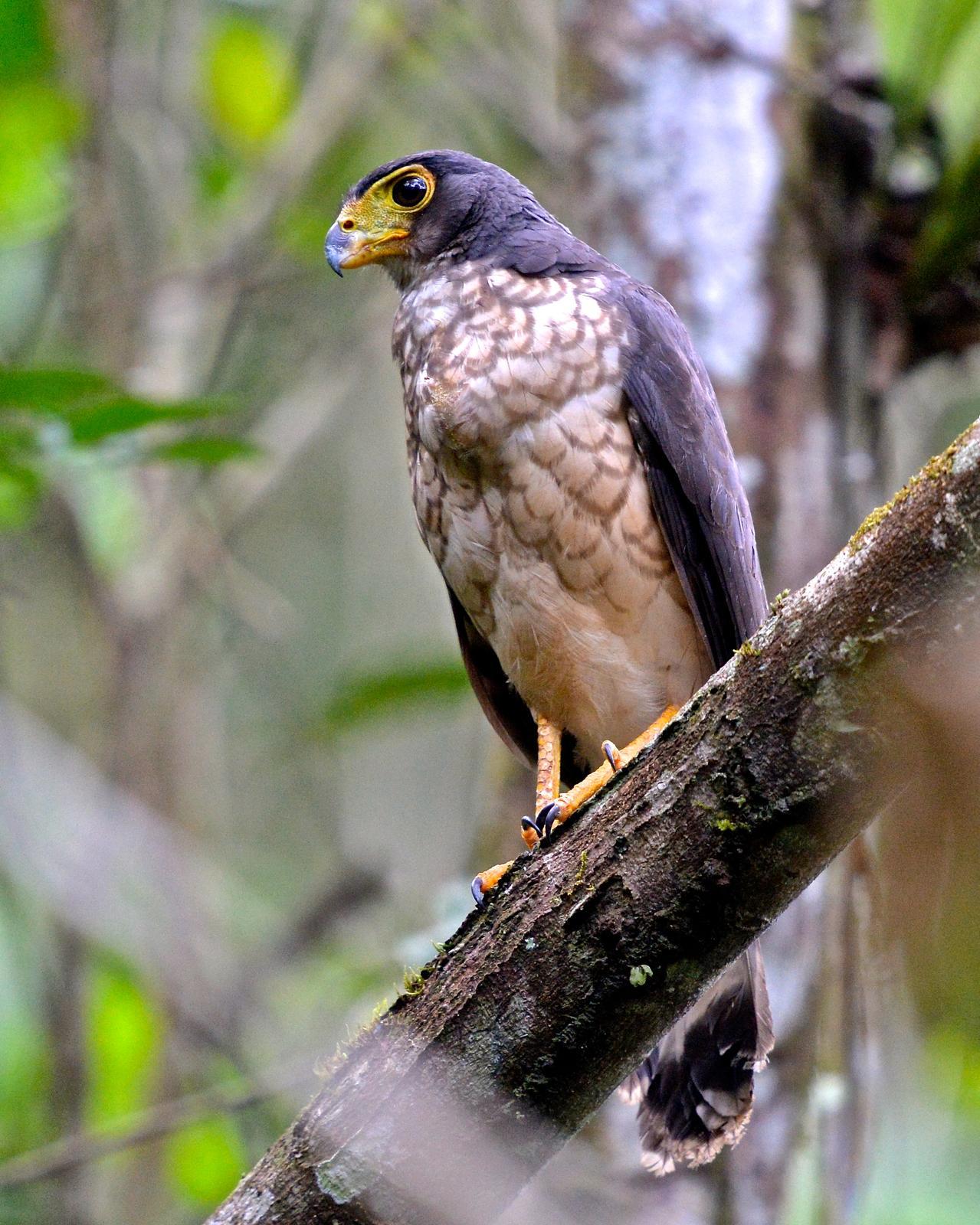 Slaty-backed Forest-Falcon Photo by Gerald Friesen