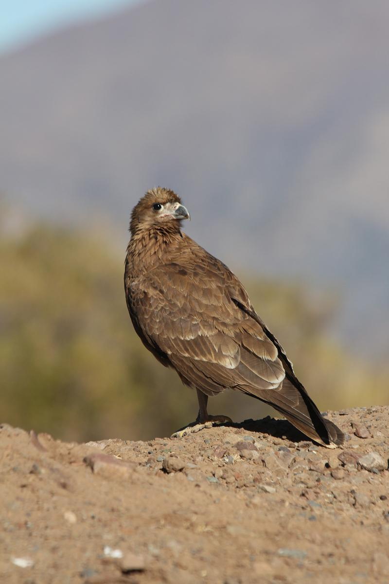 Mountain Caracara Photo by Ignacio Azocar