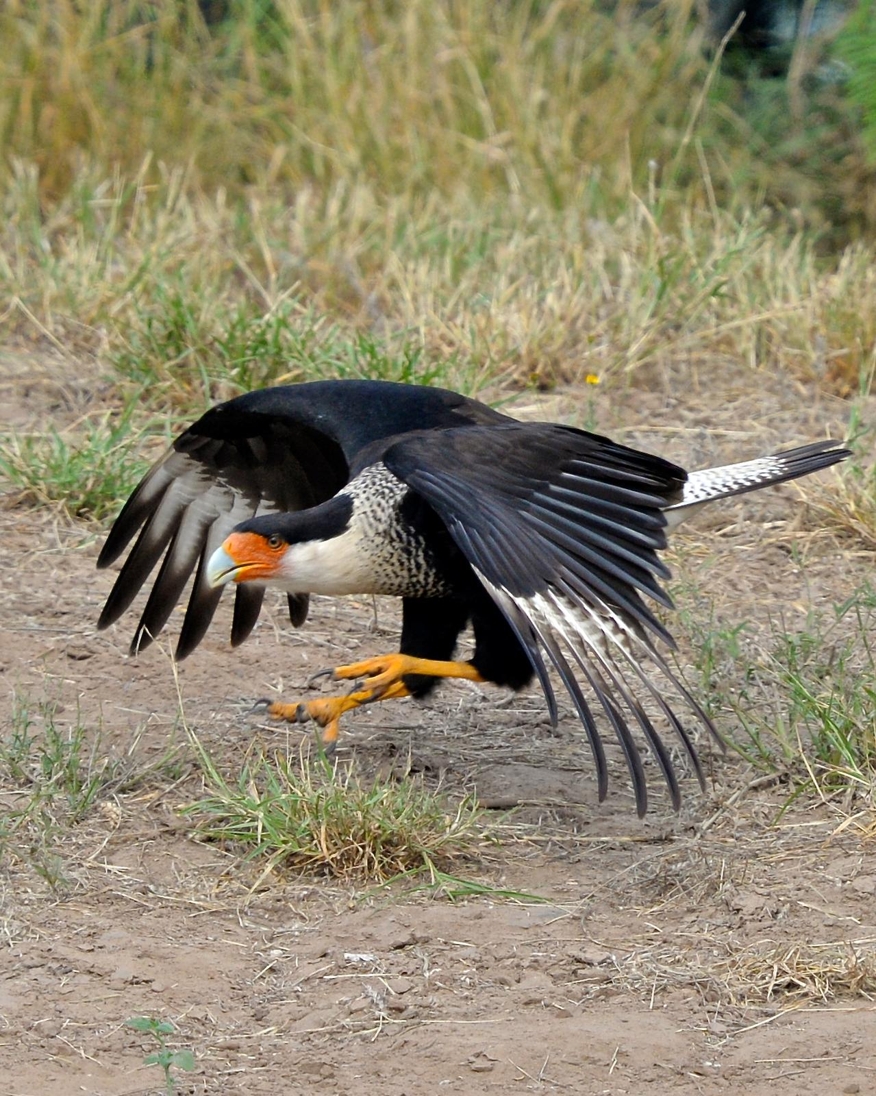 Crested Caracara Photo by Gerald Friesen