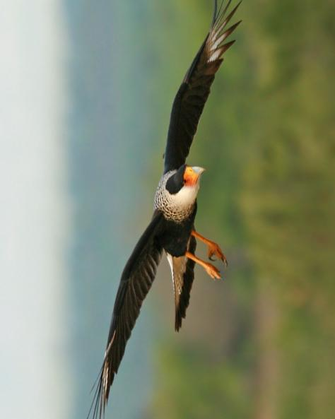 Crested Caracara Photo by Rene Valdes