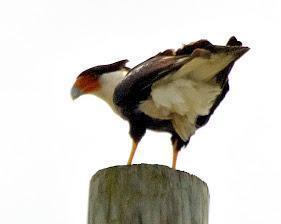 Crested Caracara Photo by Dan Tallman