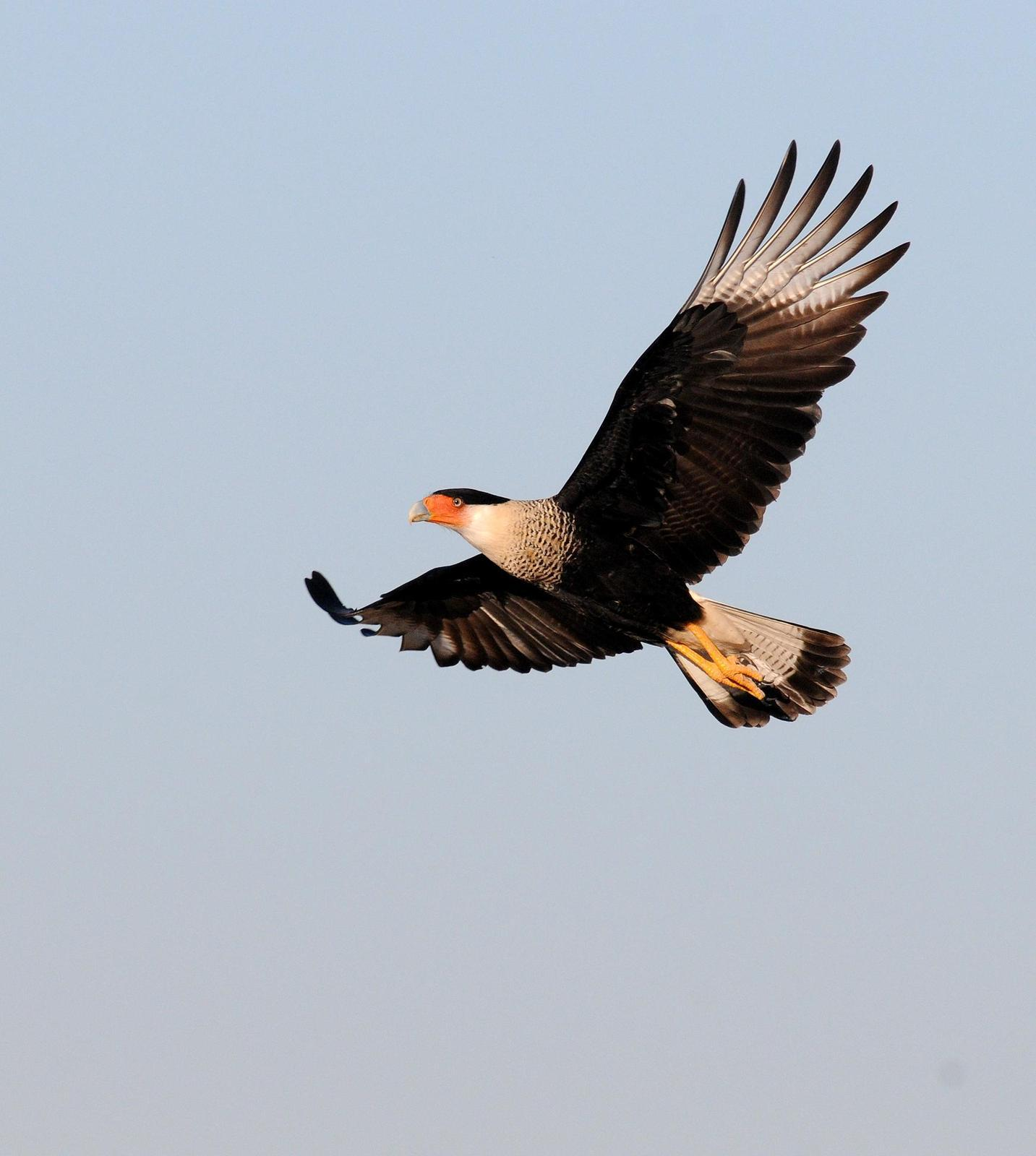 Crested Caracara Photo by Steven Mlodinow