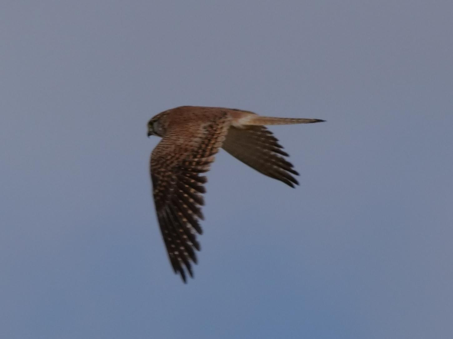 Australian Kestrel Photo by Peter Lowe