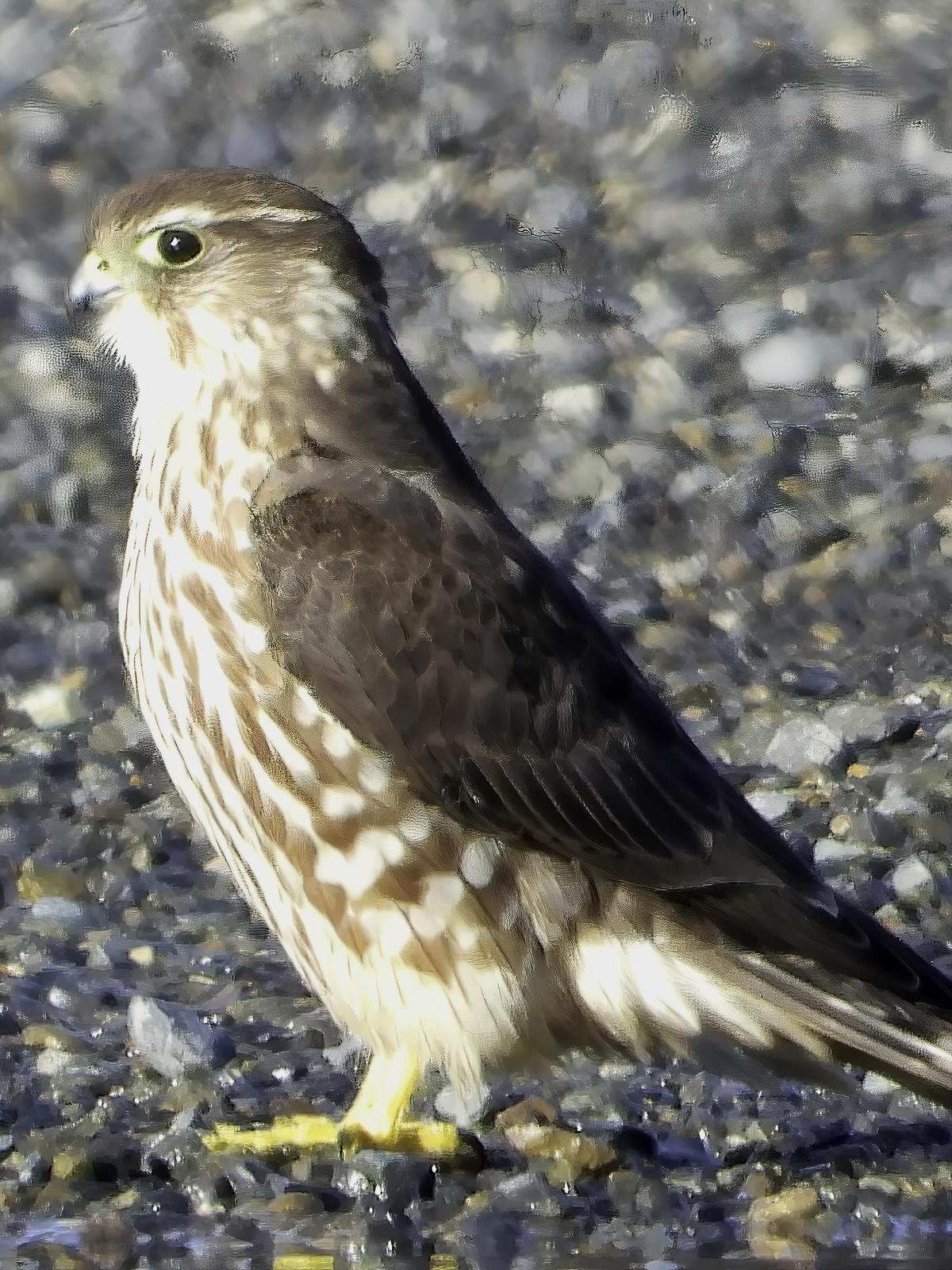 Merlin (Taiga) Photo by Dan Tallman