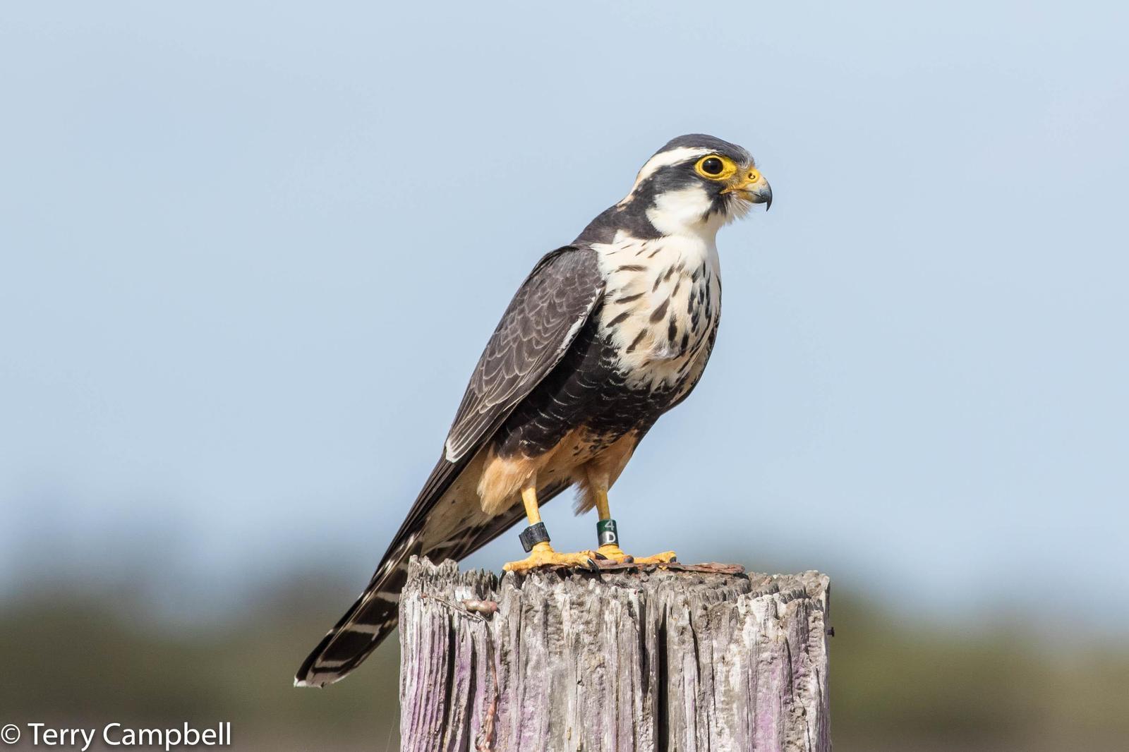 Aplomado Falcon Photo by Terry Campbell