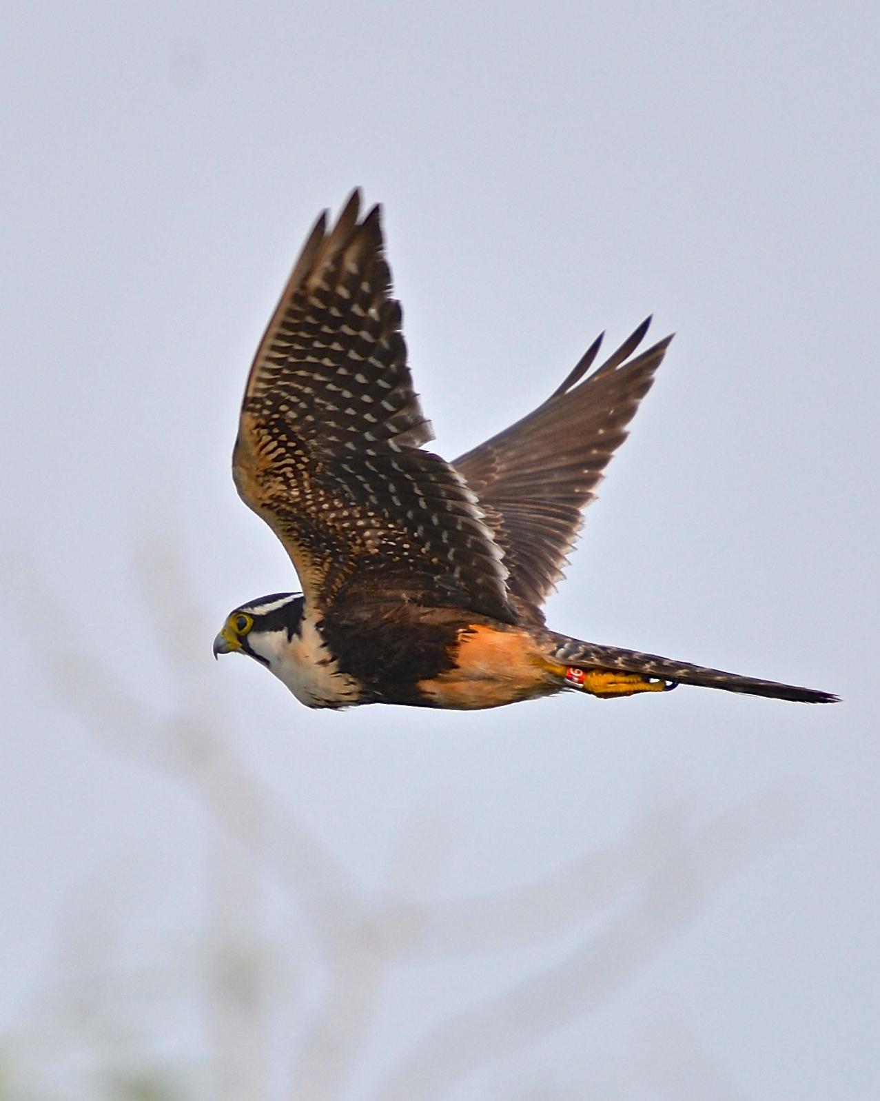 Aplomado Falcon Photo by Gerald Friesen