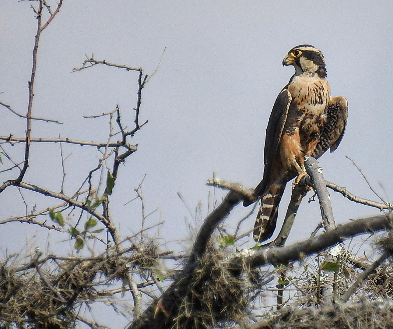 Aplomado Falcon Photo by Julio Delgado