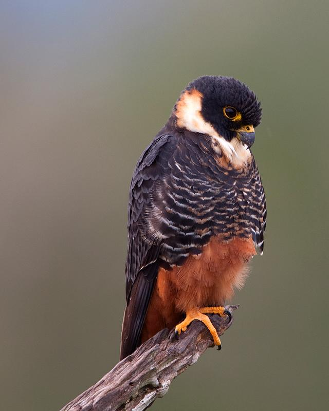 Bat Falcon Photo by Ryan Shaw