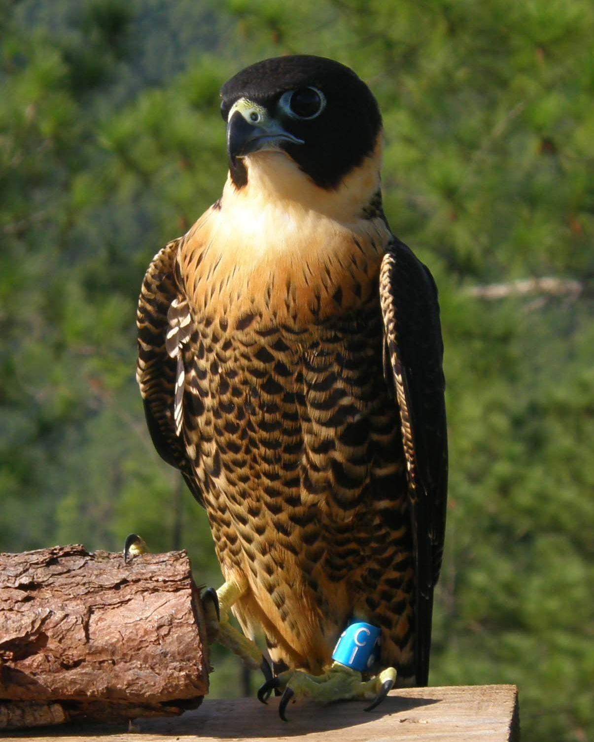 Orange-breasted Falcon Photo by Jenn Sinasac