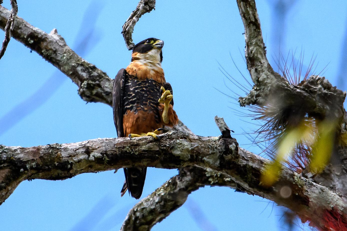 Orange-breasted Falcon Photo by Gerald Hoekstra