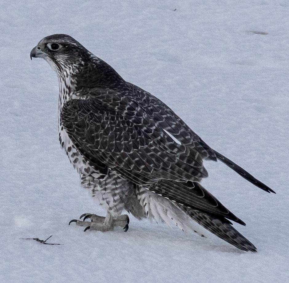 Gyrfalcon Photo by Kate Persons
