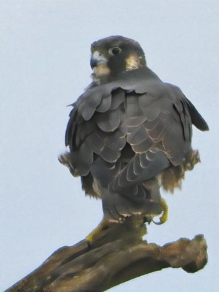 Peregrine Falcon (Peale's) Photo by Dan Tallman
