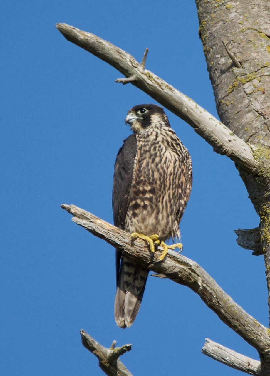 Peregrine Falcon (Peale's) Photo by Brian Avent