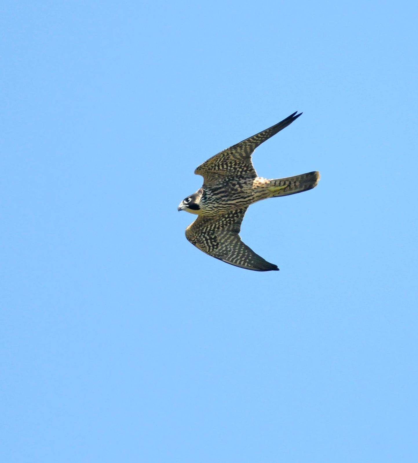 Peregrine Falcon (Peale's) Photo by Steven Mlodinow
