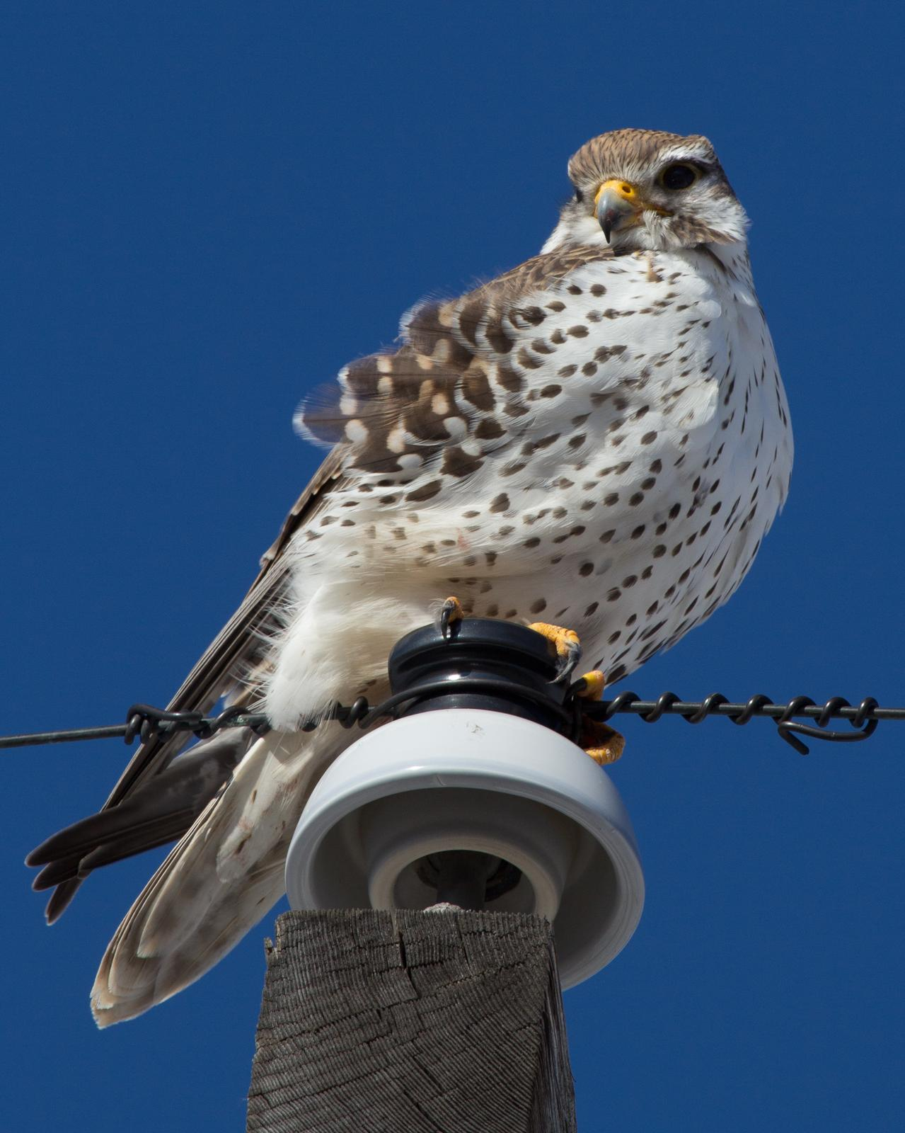 Prairie Falcon Photo by Anita Strawn de Ojeda