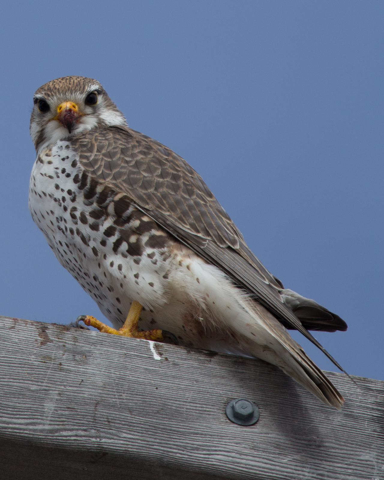 Prairie Falcon Photo by Anita Strawn de Ojeda